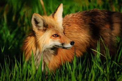 Red Fox- 919, Glenwood Springs, CO