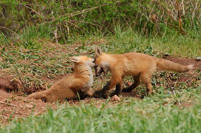 Red Fox-398