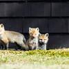 red fox_5419