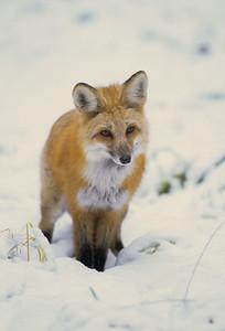 Red Fox-112