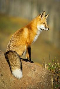 Red Fox-125
