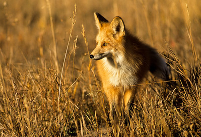 Red Fox-131