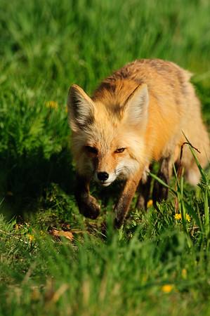 Red Fox-605