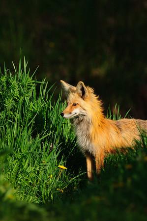 Red Fox-1055