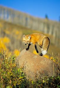 Red Fox-127