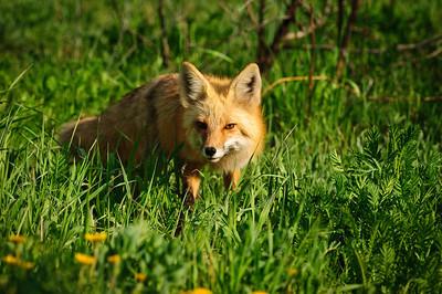 Red Fox-613