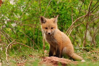 Red Fox-712