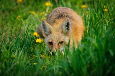 Red Fox-627