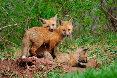 Red Fox-165