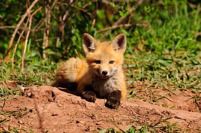Red Fox-803
