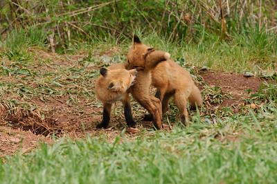 Red Fox-397