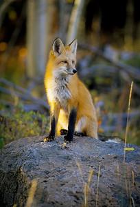 Red Fox-132