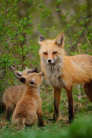 Red Fox-299