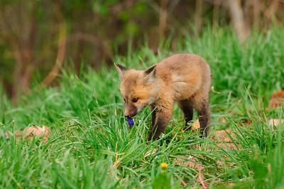 Red Fox-279