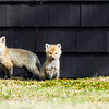 red fox_5418