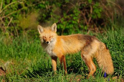 Red Fox-908