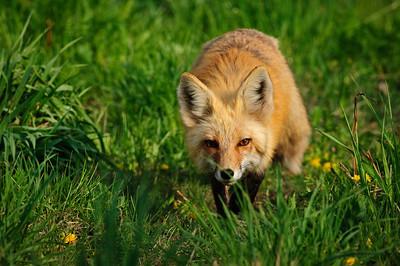 Red Fox-624
