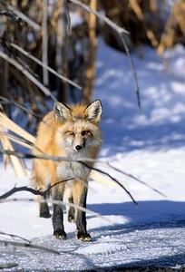 Red Fox-106