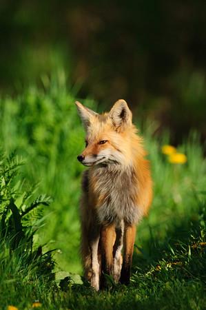 Red Fox-1042