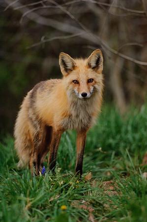 Red Fox-291
