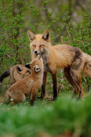 Red Fox-298