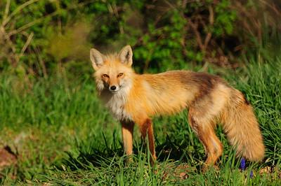 Red Fox-907
