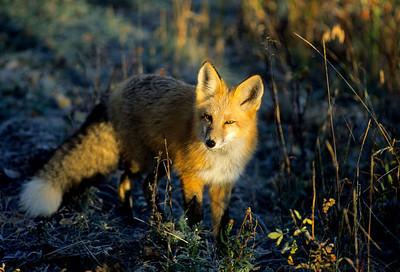 Red Fox-122