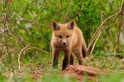 Red Fox-702