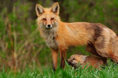 Red Fox-277