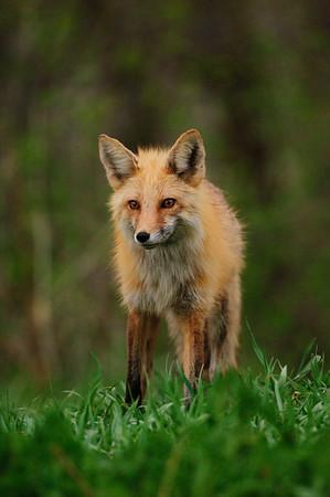 Red Fox-314