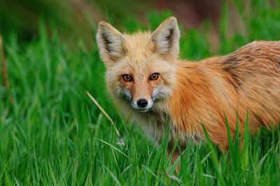 Red Fox-946