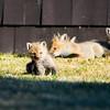 red fox_5371