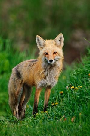 Red Fox-1049