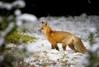 Red Fox-118