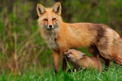 Red Fox-278