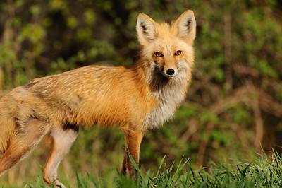 Red Fox-216