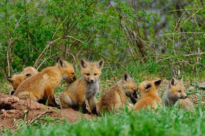 Red Fox-155
