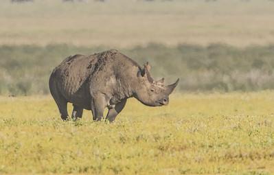 Black Rhino Grazes