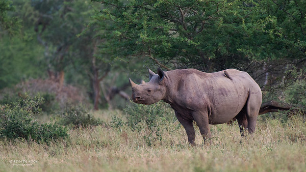 Black Rhino, Hluhluwe-Imfolozi NP, KZN, SA, Jan 2014-1