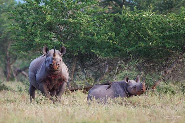 Black Rhino, Hluhluwe-Imfolozi NP, KZN, SA, Jan 2014