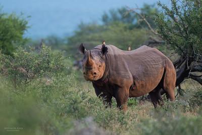 Black Rhino, Hluhluwe-Imfolozi NP, KZN, SA, Jan 2014-2