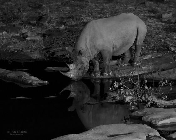 Black Rhino, Etosha NP, Namibia, July 2011-1