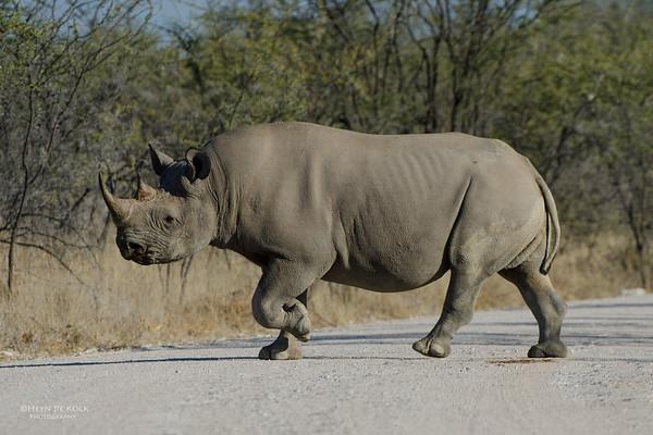 Black Rhino, Etosha NP, Namibia, July 2011-2