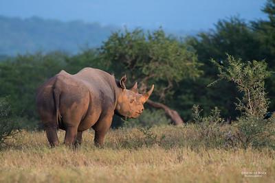 Black Rhino, Hluhluwe-Imfolozi NP, KZN, SA, Jan 2014-4