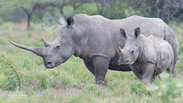 White Rhino, Phinda, KZN, SA, Oct 2016-6