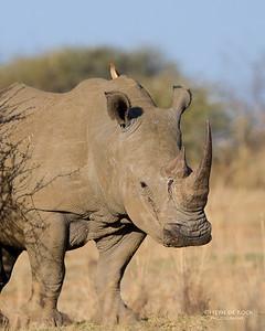 White Rhino, Pilansberg, SA, Sept 2016