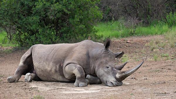 White Rhino, Ithala NP, KZN, SA, Jan-2014-4