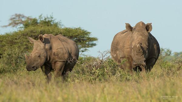 White Rhino, Hluhluwe-Imfolozi NP, KZN, SA, Jan 2014-1