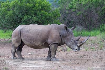 White Rhino, Ithala NP, KZN, SA, Jan-2014-1