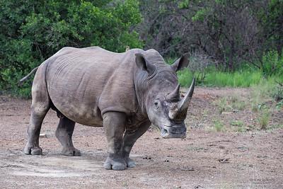 White Rhino, Ithala NP, KZN, SA, Jan-2014-5